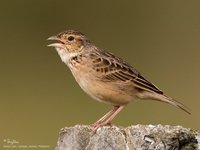 Singing Bushlark Scientific name - Mirafra javanica philippinensis (endemic race)