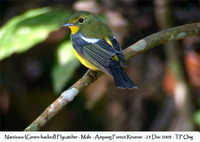 Green-backed Flycatcher - Ficedula narcissina elisae
