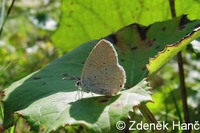 Cupido decoloratus - Eastern Short-tailed Blue