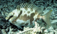 Siganus doliatus, Barred spinefoot: fisheries