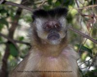Image of: Cebus apella (brown capuchin)