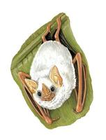 Image of: Ectophylla alba (white bat)