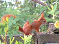Image of: Sciurus vulgaris (Eurasian red squirrel)
