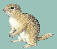 Image of: Spermophilus citellus (European ground squirrel)