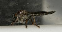 Image of: Asilidae (robber flies)