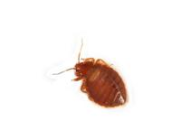 Image of: Cimicidae (bed bugs)