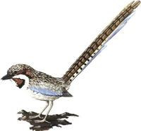 Image of: Uratelornis chimaera (long-tailed ground roller)