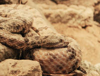 Image of: Crotalus mitchelli (speckled rattlesnake)