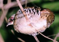 Orange-necked Partridge - Arborophila davidi