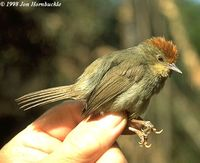 Rufous-capped Babbler - Stachyris ruficeps