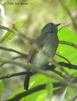 Russet-backed Jungle Flycatcher - Rhinomyias oscillans
