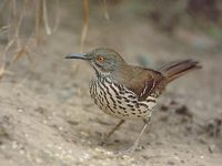 Long-billed Thrasher (Toxostoma longirostre) photo