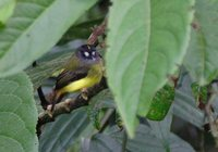 Ornate Flycatcher - Myiotriccus ornatus