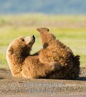 ...Alaskan Brown Bear , Ursus middendorffi , stretched out on rivers edge , Katmai National Park ,