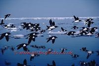FT0180-00: Thick billed Murres in flight over water. The Arctic.