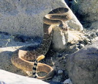 : Crotalus ruber; Red Diamond Rattlesnake
