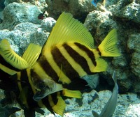 Evistias acutirostris, Striped boarfish: fisheries, aquarium
