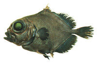 Allocyttus niger, Black oreo: fisheries