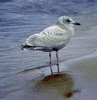 Image of: Larus thayeri (Thayer's gull)