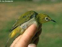 Mountain White-eye - Zosterops montanus