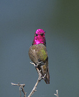 Anna's Hummingbird (Calypte anna) photo