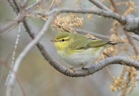 Wood Warbler (Phylloscopus sibilatrix) photo