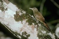Striped Woodcreeper (Xiphorhynchus obsoletus) photo