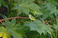 Gray-headed Lovebird - Agapornis canus