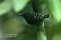 Scale-backed Antbird - Hylophylax poecilonota