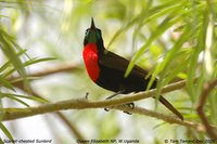 Scarlet-chested Sunbird - Chalcomitra senegalensis