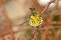 Cape May Warbler - Dendroica tigrina