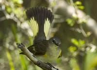 A female American Redstart