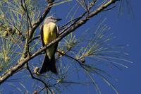 White-throated  kingbird   -   Tyrannus  albogularis   -