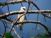 Juvenile Harpy Eagle Harpia harpyja. Forest fragment in Alta Floresta, MT, Brazil. Photo by Alex...