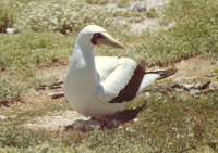 : Sula dactylatra; Masked Booby And Eggs