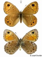 Lasiommata petropolitana - Northern Wall Brown