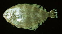 Cyclopsetta chittendeni, Mexican flounder: fisheries