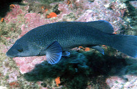 Labrus merula, Brown wrasse: fisheries, aquarium