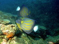 Pomacanthus annularis, Bluering angelfish: aquarium