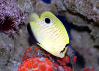 Apolemichthys xanthopunctatus, Goldspotted angelfish: aquarium