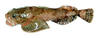 Eurymen gyrinus, Smooth-cheek sculpin: fisheries