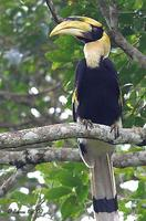 Image of: Buceros bicornis (great hornbill)