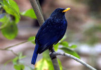 Image of: Myophonus caeruleus (blue whistling thrush)