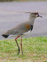 Image of: Vanellus chilensis (southern lapwing)