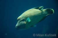 Cheilinus undulatus - Double-headed Maori Wrasse