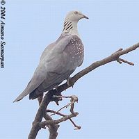 Speckled Wood Pigeon - Columba hodgsonii