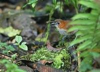 White-bellied Antpitta (Grallaria hypoleuca) photo
