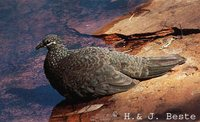 Chestnut-quilled Rock-Pigeon - Petrophassa rufipennis