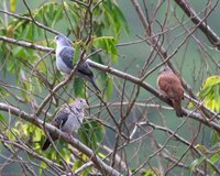 Blue Ground-Dove - Claravis pretiosa