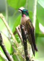 Fawn-breasted Brilliant - Heliodoxa rubinoides